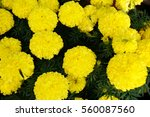 Background Of Yellow Marigold...