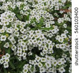 Small photo of alyssum flower in natural garden setting