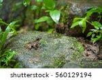 Common Frog Macro  Portrait In...