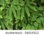 Small photo of The beautiful Maidenhair Fern, photographed in its native habitat, deep in Great Smoky Mountains National Park. (Adiantum pedatum)