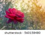 red rose flower on condolences... | Shutterstock . vector #560158480