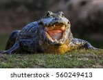 black caiman cooling down with... | Shutterstock . vector #560249413