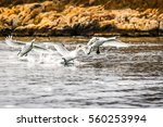 swans taking off from water | Shutterstock . vector #560253994