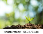 plant coffee seedlings in nature | Shutterstock . vector #560271838