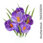 Spring floral background. Purple crocuses delicate flowers, first bloom. Isolated on white background.