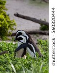 Small photo of African penguin, spheniscus demersus, South Africa