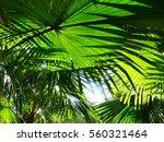 palm leaf of tree in sunlight... | Shutterstock . vector #560321464