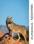 Coyote Standing On A Rock...