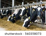 cows in a farm. dairy cows in a ... | Shutterstock . vector #560358073