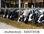 cows in a farm. dairy cows | Shutterstock . vector #560373538