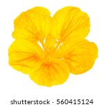 beautiful nasturtium flower... | Shutterstock . vector #560415124