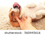 Stock photo puppy playing with hand funny beagle with tongue dog play on carpet indoors 560445616