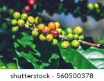 coffee tree with coffee beans... | Shutterstock . vector #560500378