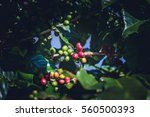 coffee tree with coffee beans... | Shutterstock . vector #560500393