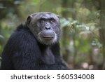 portrait of free wild chimpanzee