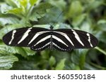 Small photo of Zebra Longwing, (Heliconius charitonia) - butterfly