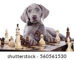 Weimaraner Puppy Plays Chess