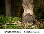 beavers building a dam in a... | Shutterstock . vector #560587618