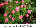 Red Rose My Garden