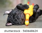 Stock photo funny pug dog lying on concrete road with yellow chicken toy 560668624
