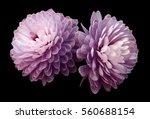 pink violet  flowers ... | Shutterstock . vector #560688154