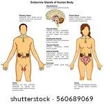 endocrine glands of human body... | Shutterstock . vector #560689069