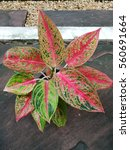 Small photo of Aglaonema plant with colorful foliage on garden pathway.