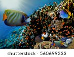 lyretail anthias fish on a... | Shutterstock . vector #560699233