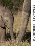 Small photo of Wild baby African elephant