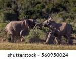 Small photo of Two adolescent elephant bulls sparring