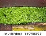 Leaves Small Duckweed Lemna...