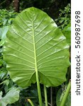 Small photo of Alocasia odora