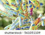 bacteria bifidobacterium  gram... | Shutterstock . vector #561051109