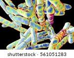 bacteria bifidobacterium  gram... | Shutterstock . vector #561051283