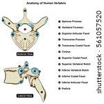 vertebra of vertebral column of ... | Shutterstock .eps vector #561057520
