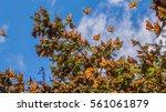 Monarch Butterflies On Tree...