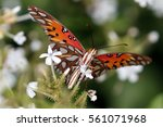 Small photo of Gulf Fritillary Butterfly - Agraulis vanillae