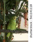 Small photo of Parrot Amazona Aestiva - tropical bird typical of brazilian forests