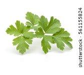 fresh parsley herb leaves ... | Shutterstock . vector #561155824