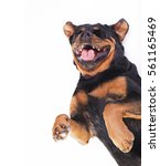 Stock photo  dog laughing be in fits rottweiler rolling on the floor laughing black dog isolated on white 561165469
