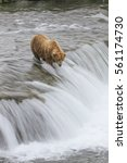Small photo of Alaskan Brown Bear - (Ursus arctos)