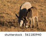 wild burros grazing in meadow... | Shutterstock . vector #561180940