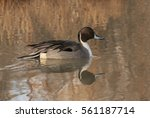 Pintail Perfect Pose   A...