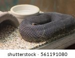 Small photo of Close up of a cottonmouth snake (Agkistrodon piscivorus) in a glass display case
