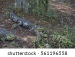 Small photo of Two alligators (Alligator mississippiensis) resting near a bayou shore