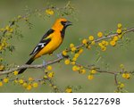 Small photo of Altamira Oriole (Icterus gularis) - Rio Grande Valley, Texas