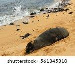 hawaiian monk seal sleeping on... | Shutterstock . vector #561345310