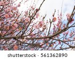 beautiful cherry blossom or... | Shutterstock . vector #561362890