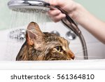Wet Cat. Girl Washes Cat In Th...