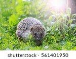 hedgehog among the green grass... | Shutterstock . vector #561401950